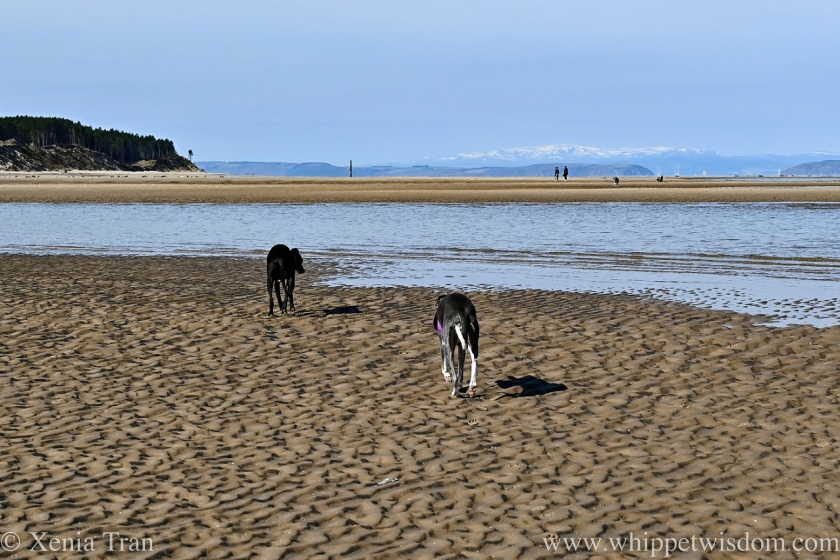 two whippets walking across a sandbar to a tidal lagoon