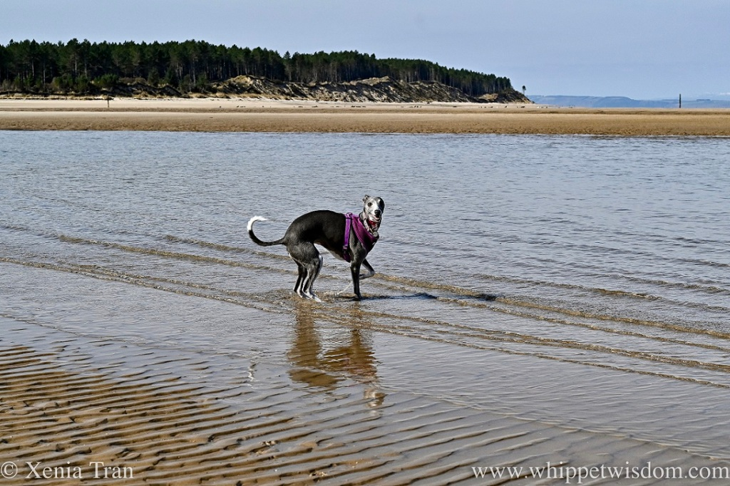 a smiling blue and white whippet wading through a tidal lagoon