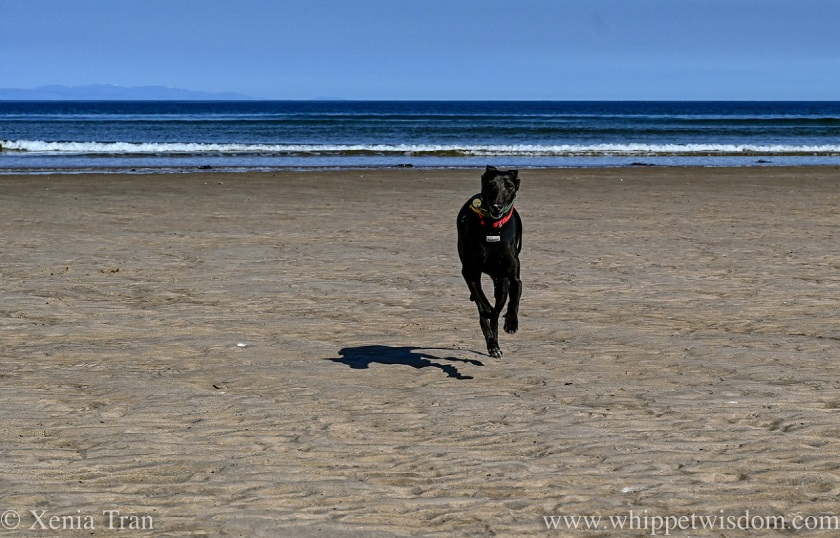a black whippet running across the tidal sands with the sea behind him