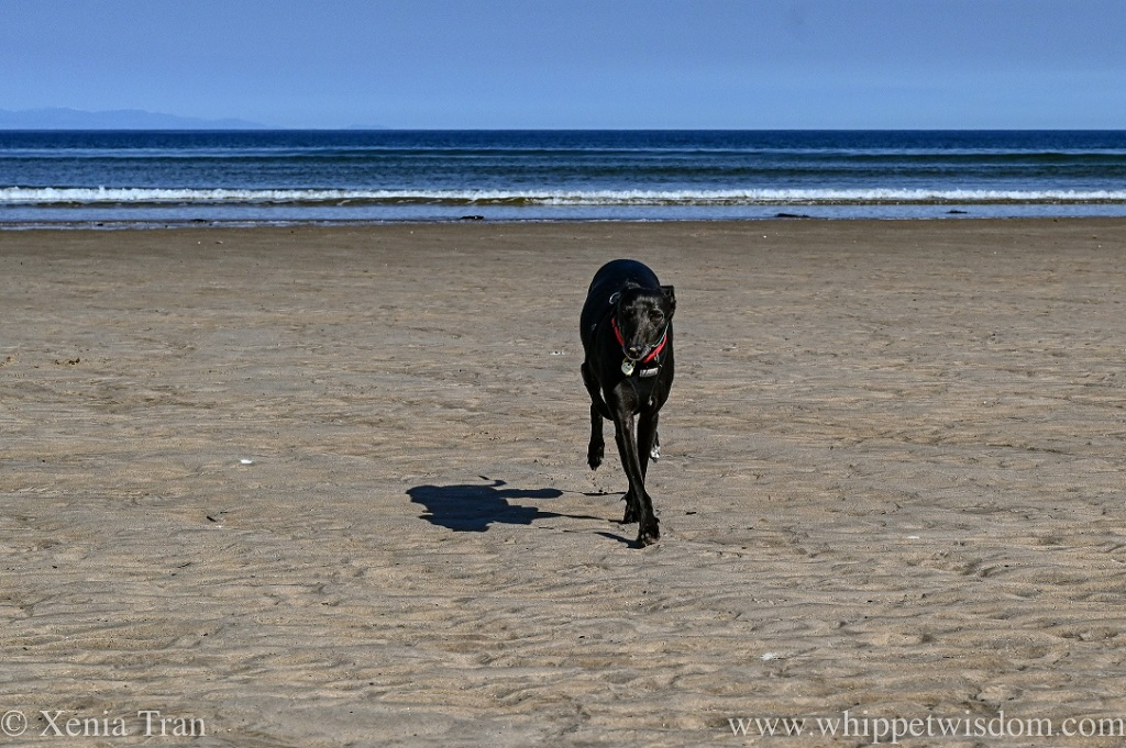 a black whippet running across the beach followed by his shadow