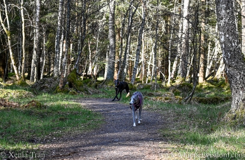 two whippets walking along a forest trail in Spring