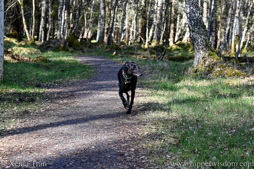 a black whippet walking on a forest trail
