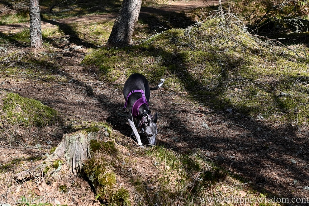 a blue and white whippet sniffing the grass on a woodland trail