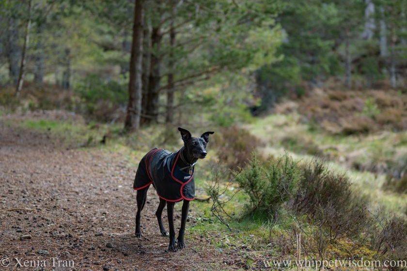 a black whippet in a raincoat looking up from a forest trail