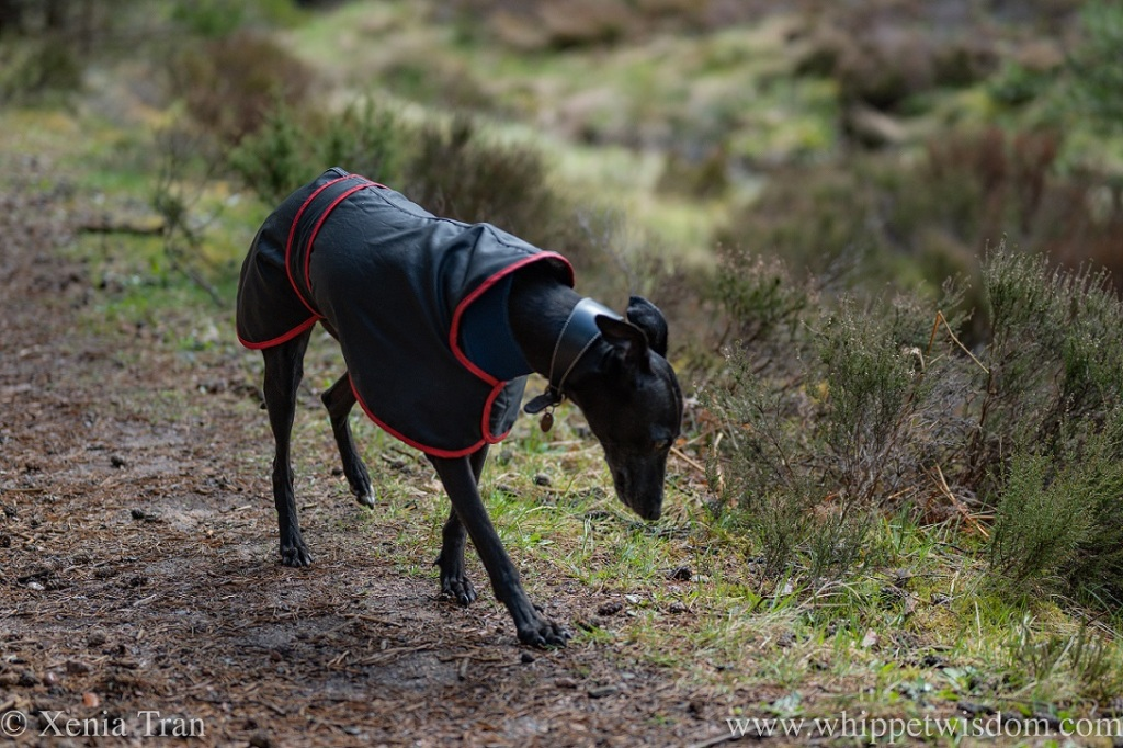 a black whippet in a raincoat walking on a forest trail