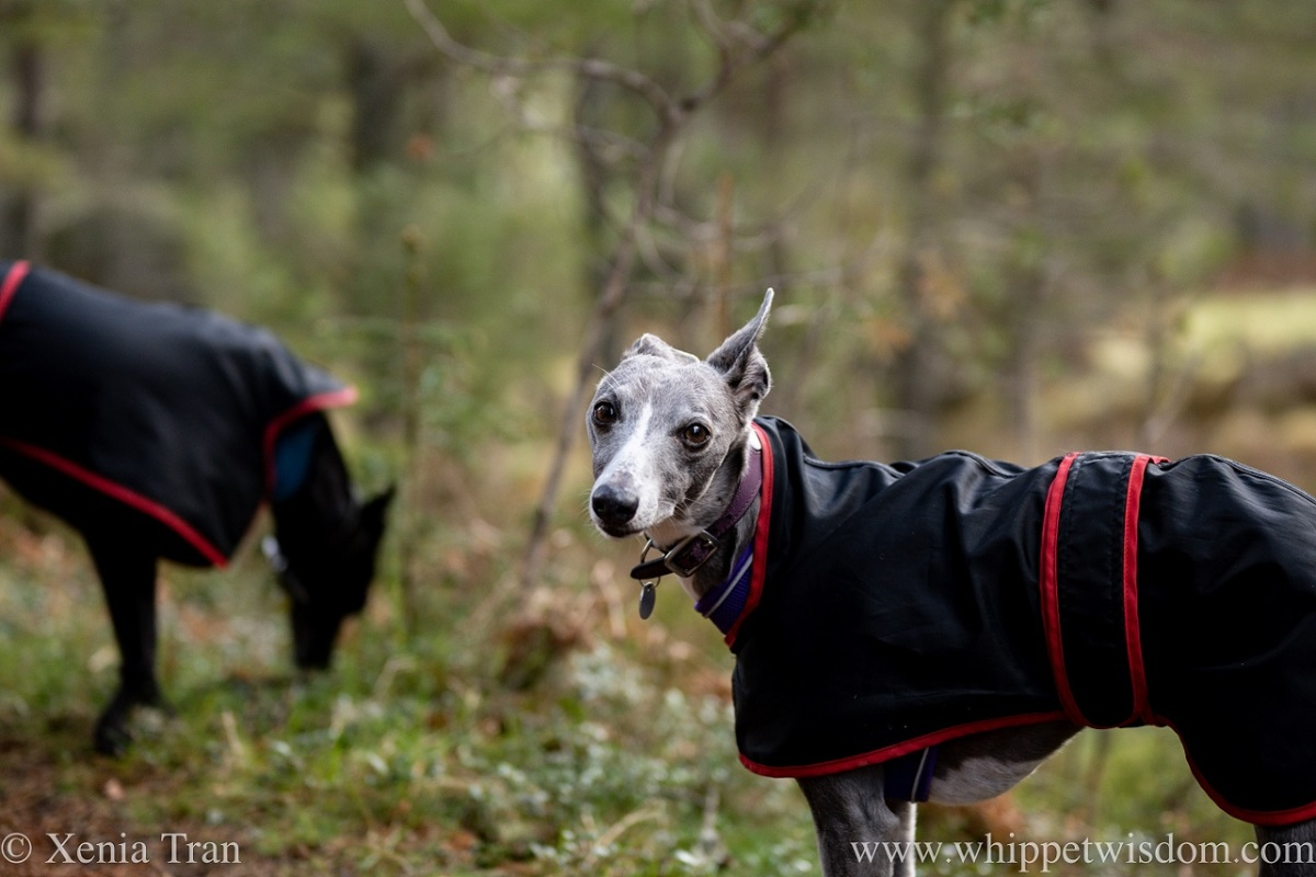 a blue and white white in a raincoat on a forest trail with a black whippet in the background