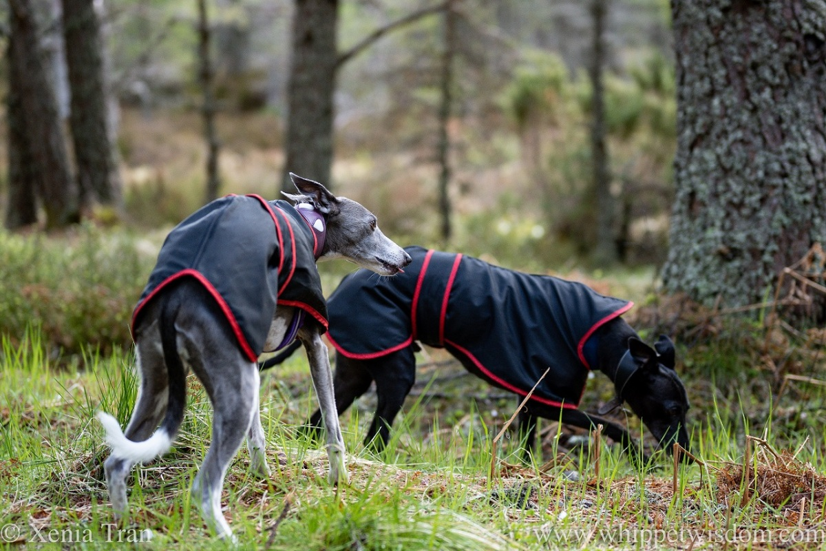 two whippets in rain coats on a forest trail