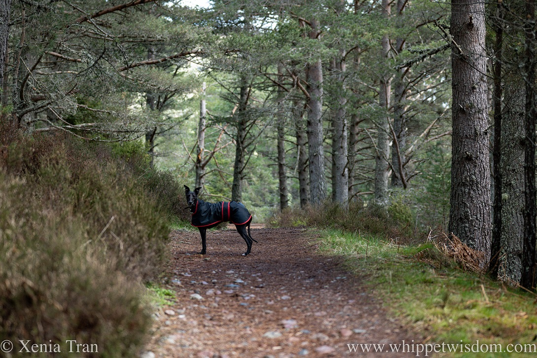 a black whippet in a raincoat on a forest trail in spring