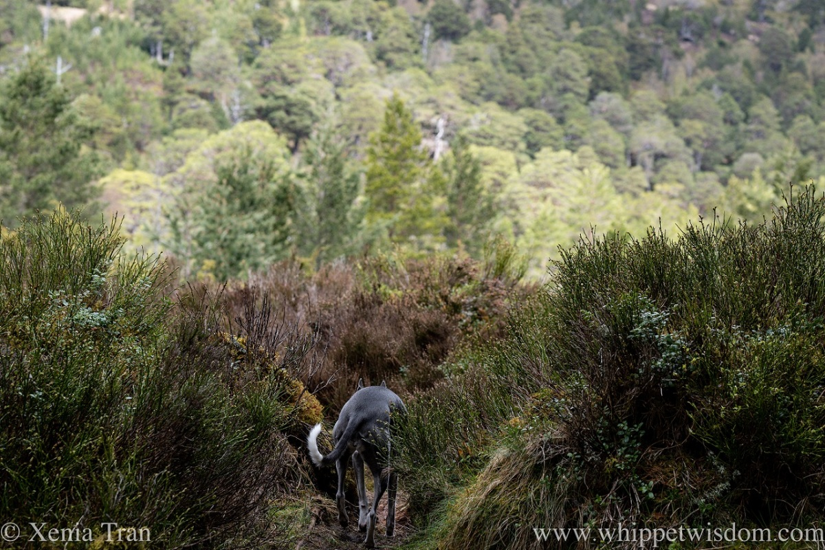a blue and white whippet walking ahead on a narrow trail in the glen