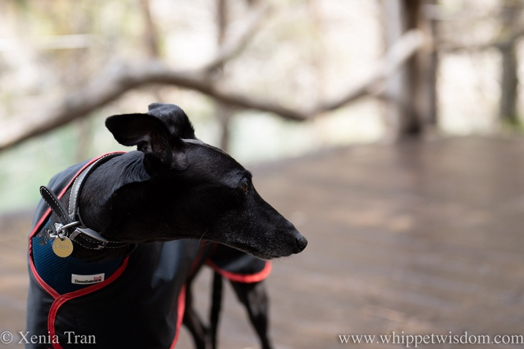 a black whippet in a raincoat on a wooden platform by a loch