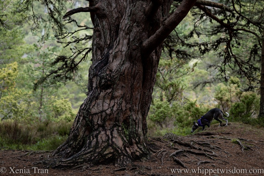 a blue and white whippet running behind an ancient pine tree