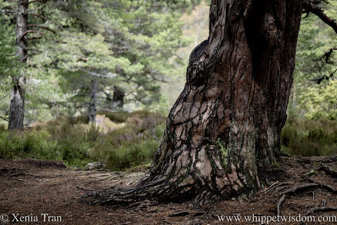 close up of the trunk of an ancient Caledonian pine