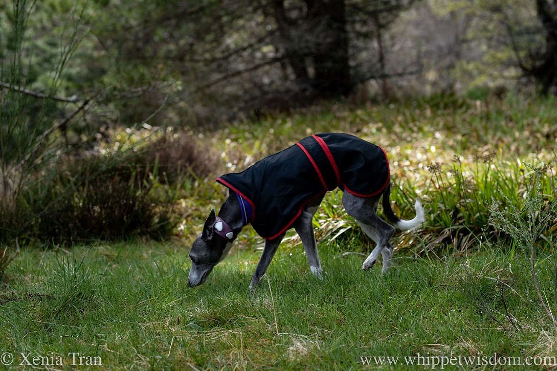 a blue and white whippet in a raincoat sniffing the grass in the forest
