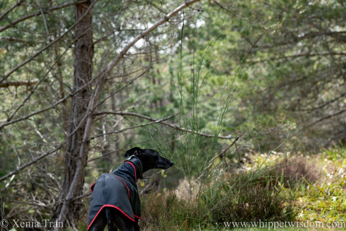 a black whippet looking ahead on a forest trail in spring
