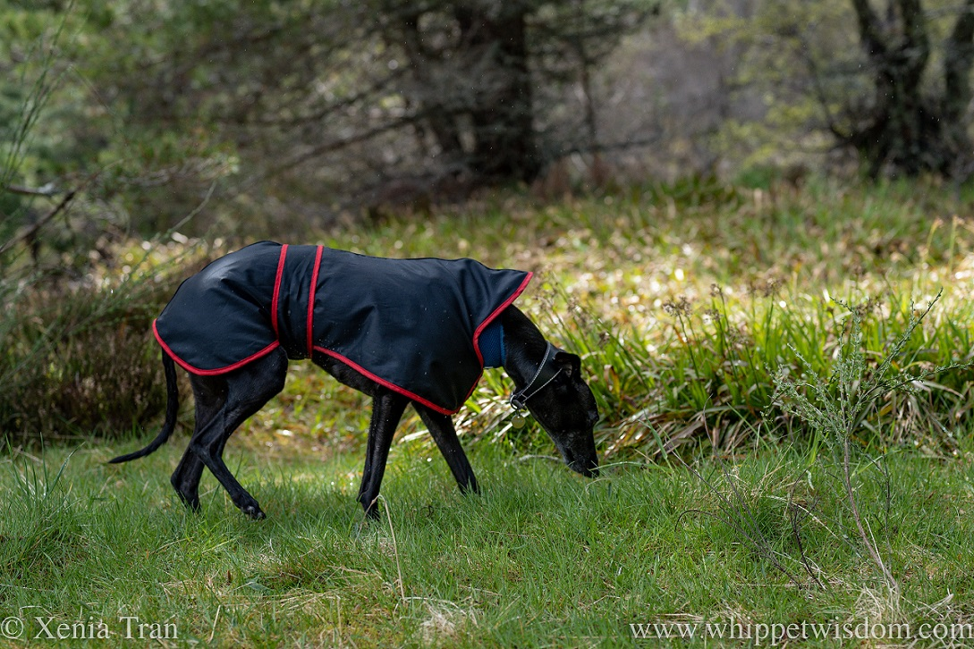 a black whippet in a raincoat gently sniffing the grass in the forest