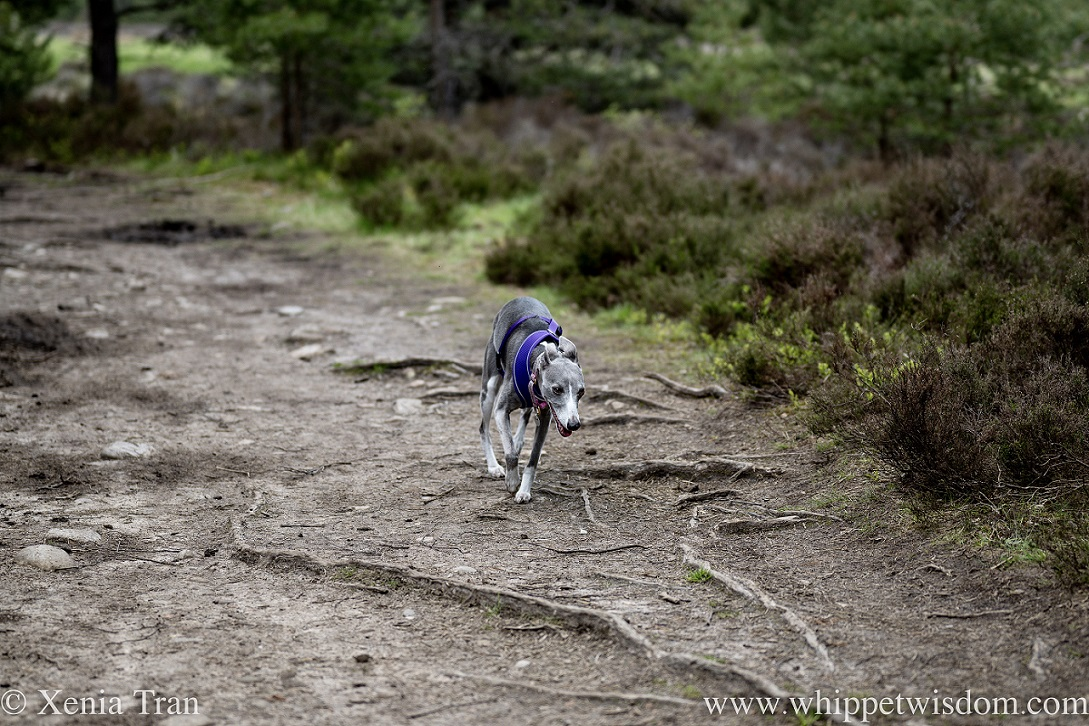 a smiling blue and white whippet running down a forest trail