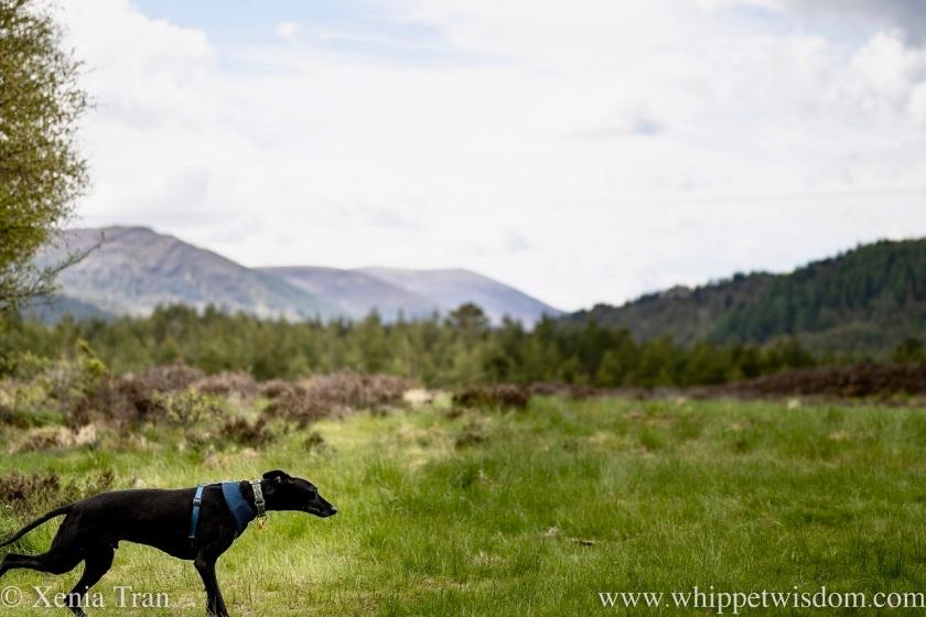a black whippet running across a meadow in the glen