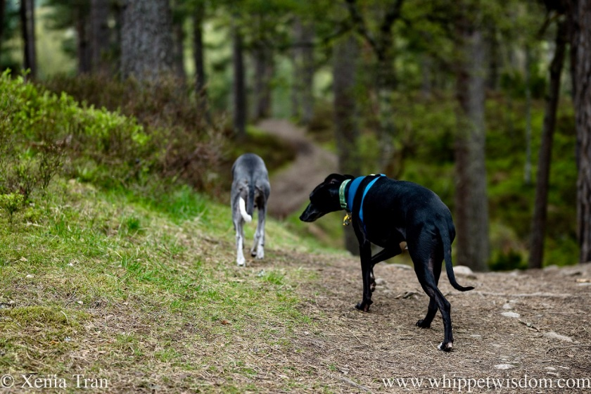 a black whippet following a blue and white whippet down a hilly forest trail
