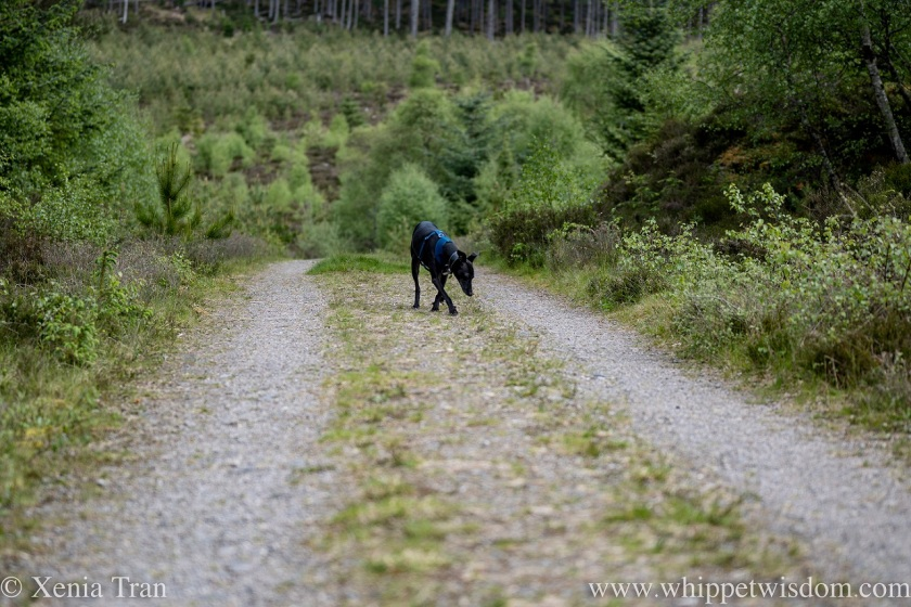 a black whippet on an old carriage route through a forest