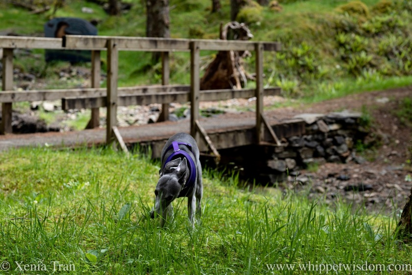 a blue and white whippet sniffing grass beside a stream