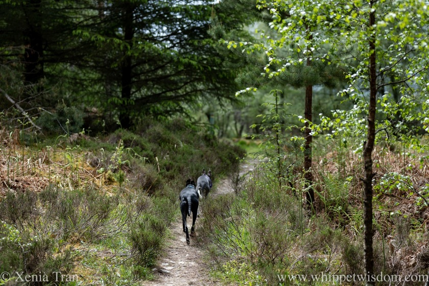 two whippets walking in single file on a narrow forest trail