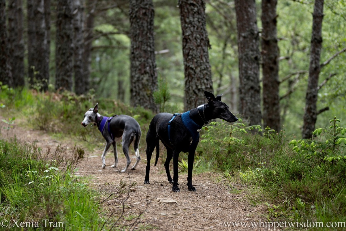 a black whippet and a a blue and white whippet on a forest trail