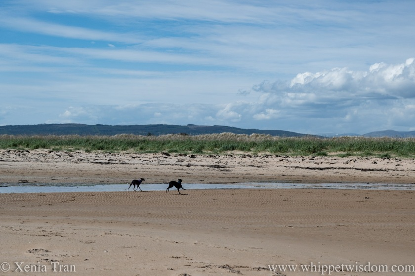 two whippets running across the beach along a tidal burn