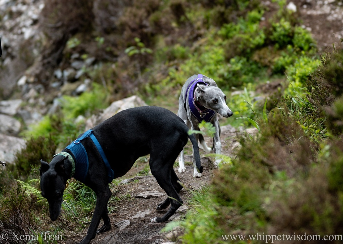 two whippets on a nature trail in Summer