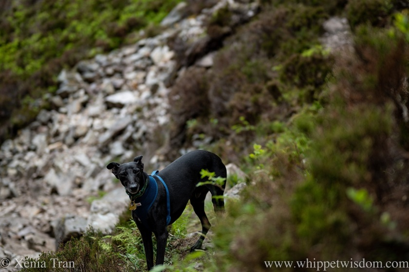 a black whippet looking up on a mountain trail