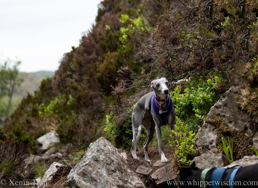 two whippets climbing through a rocky gorge