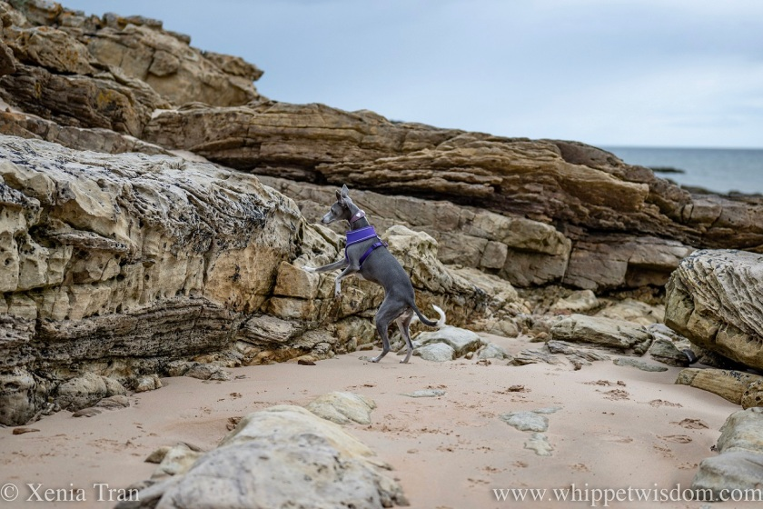 a blue and white whippet on her hind legs beside a large rock