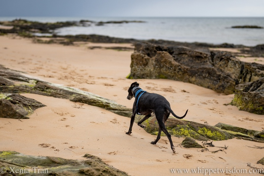 a black whippet striding out between rocks on tidal sands