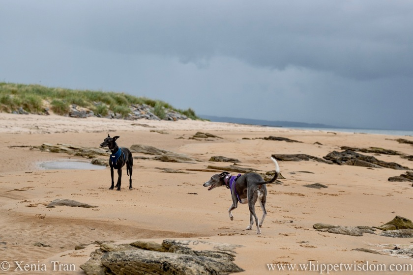 a smiling blue and white whippet and a black whippet on tidal sands