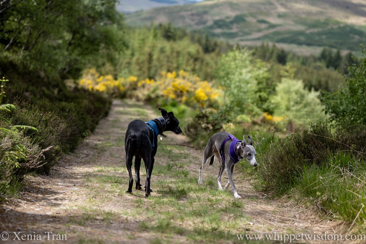 two whippets on a hillside forest trail