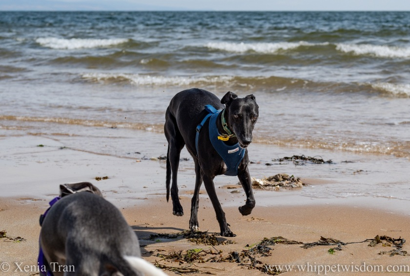 two whippets on the beach near the shoreline