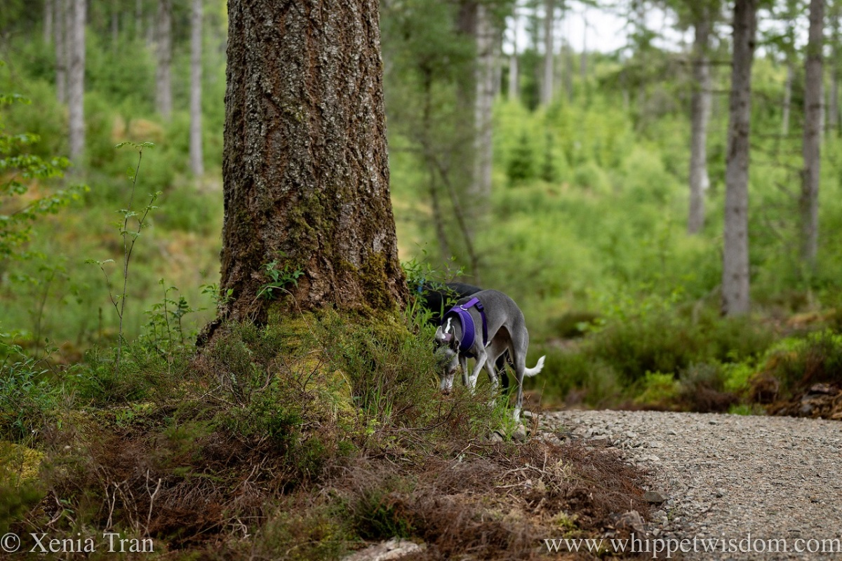 a blue and white whippet sniffing the base of a tree