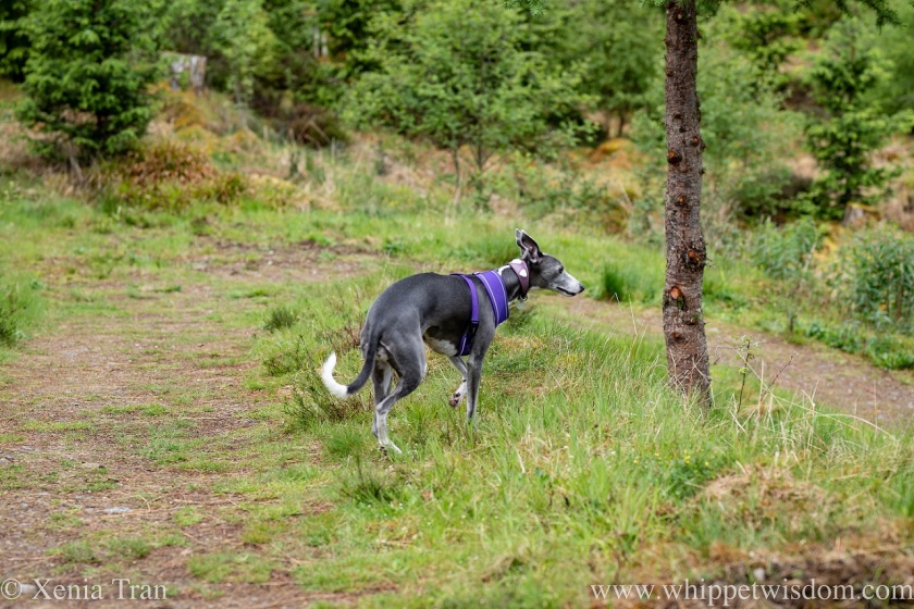 a blue and white whippet walking down towards the river