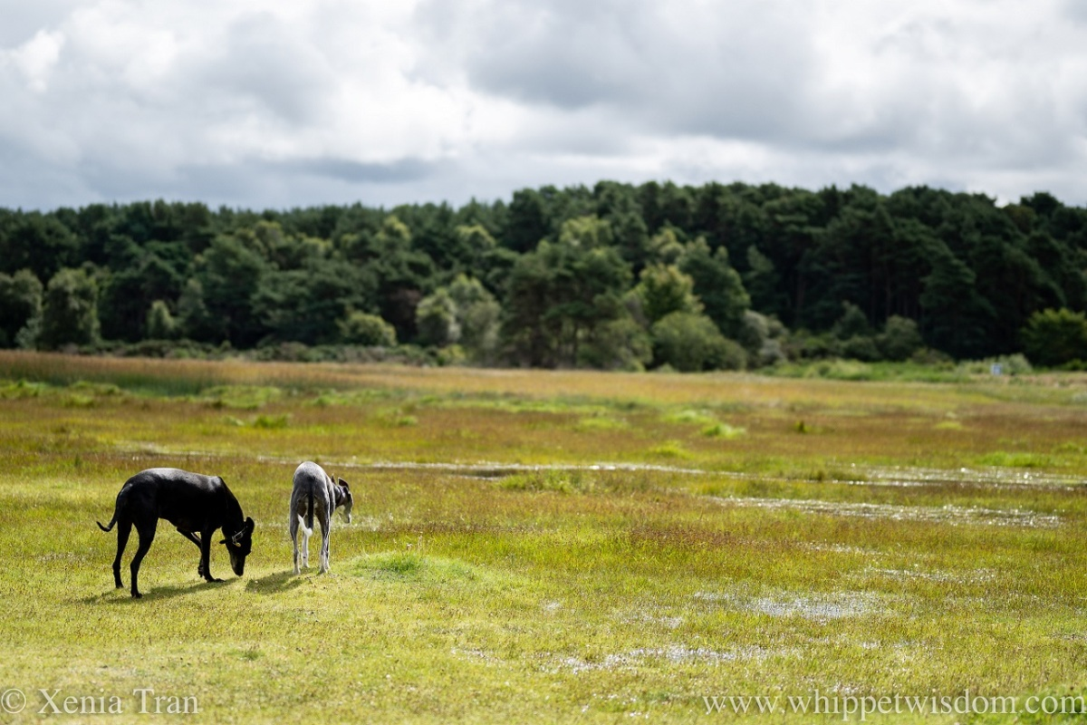 two whippets walking through wetlands in late Summer