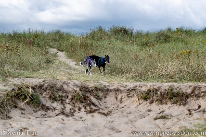 two whippets running side by side through the dunes