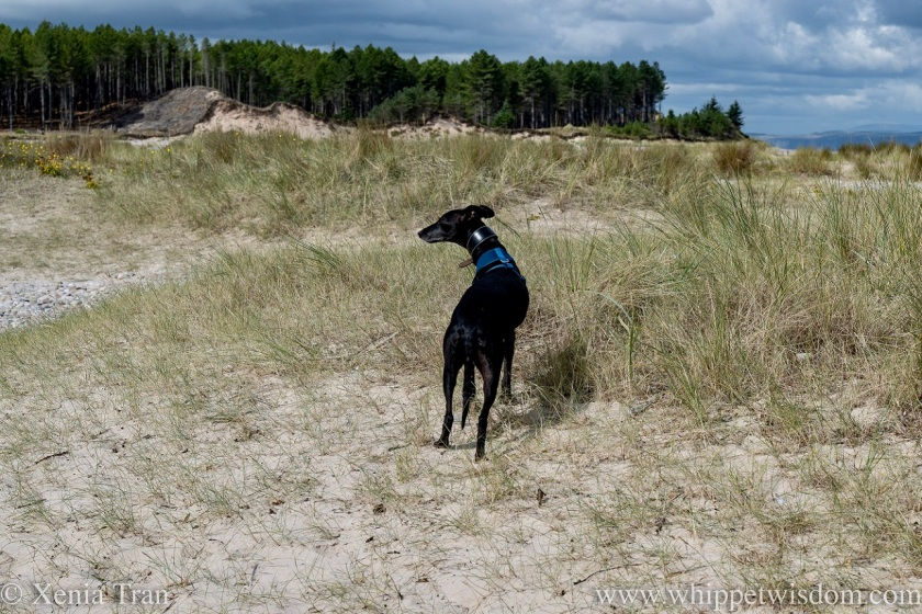 a black whippet in the dunes looking to his left in the sunshine