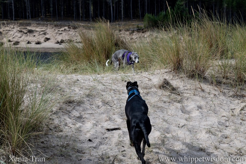 two whippets walking towards each other in the dunes