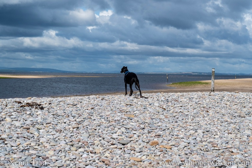 a black whippet looking across tidal sands and the river