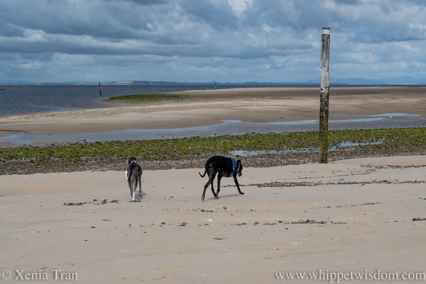 two whippets walking across the beach towards a tidal lagoon