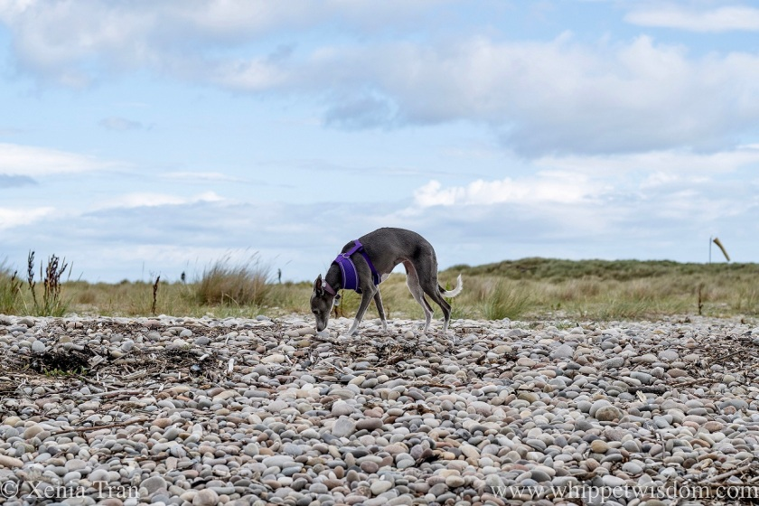 a blue and white whippet walking on shingle by the dunes
