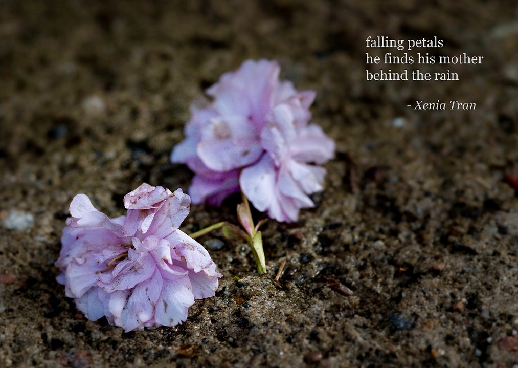 haiku by Xenia Tran with fallen cherry blossom