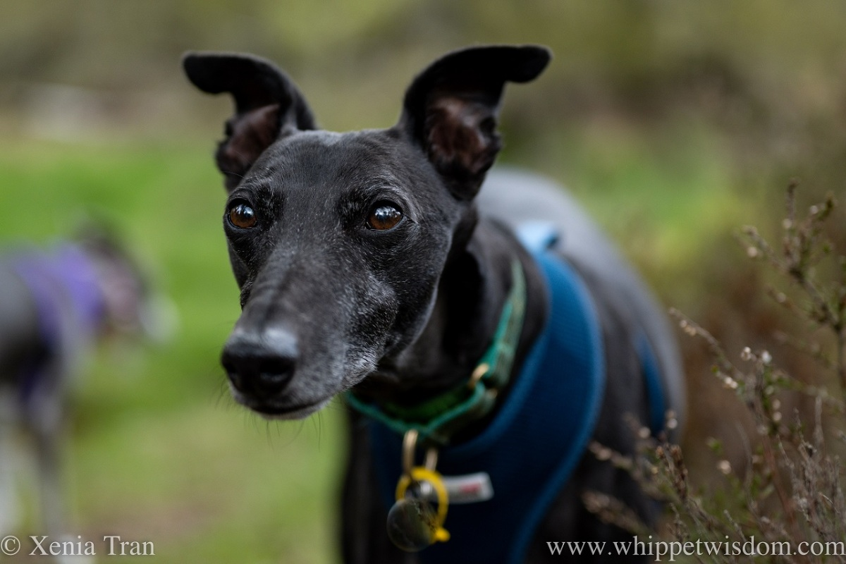 a mature black and white whippet looking up