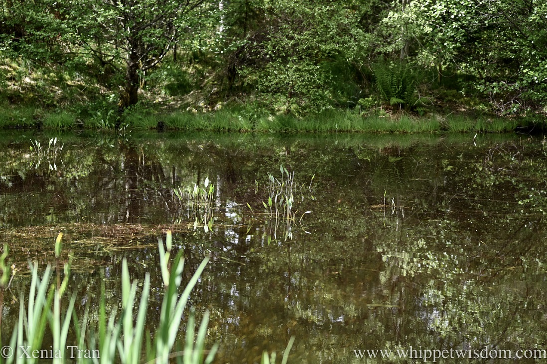 a woodland pond with trees reflected in the water