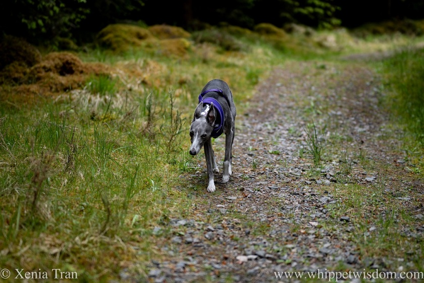 a blue and white whippet walking along a forest trail