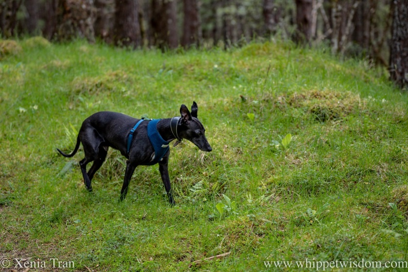 a black and white whippet walking through a forest clearing