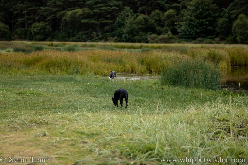 two whippets in wetlands with copper coloured reeds